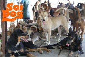 soi-dogs-4